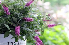 Buddleia Lo & Behold® 'Pink Micro Chip' * Butterfly Bush * Zones: 5-9 *  A whole new color for the Lo & Behold series, 'Pink Micro Chip' is a small plant with an abundance of unique, tiny blooms giving this butterfly bush the look of a Salvia but with the sweetness of a Buddleia. * Breeder: Proven Winners * #daytonnursery #perennials #flowers