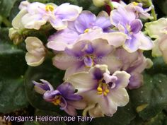African Violet (saintpaulia) plant MORGAN'S HELIOTROPE FAIRY - miniature