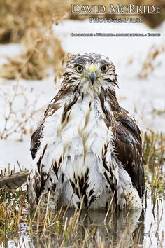 A Red Tailed Hawk has a bath after a fulfilling Mouse dinner - St. Catharines, Ontario