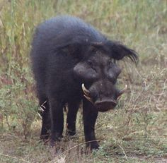 Giant Forest Hog - Found in West, Central and East Africa.  Endangered due to hunters and poachers.
