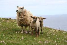 Shetland Sheep (Farm and Croft)