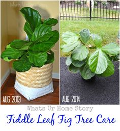 how to care for your fiddle leaf fig tree, Fiddle Leaf Fig Tree Care