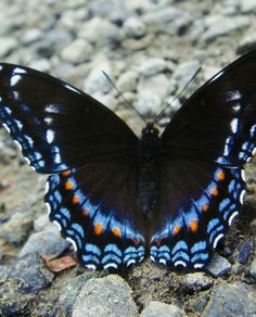 Red-spotted Purple (Limenitis arthemis astyanax) I secretly love butterflies, but only the real ones. I want framed ones in my office one day.
