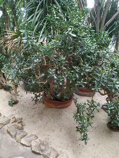 Crassula ovata Crassula Ovata, Bonsai, Plants, Plant, Planets, String Garden