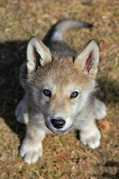 Baby wolf so cute. Cute Baby Animals, Animals And Pets, Funny Animals, Strange Animals, Wolf Photos, Wolf Pictures, Beautiful Wolves, Animals Beautiful, Tier Wolf