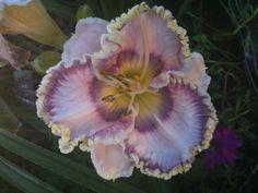 Daylily (Hemerocallis 'Busy Being Blue') uploaded by JWWC
