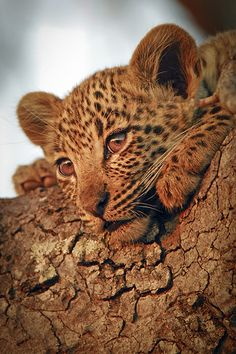 Baby Leopard by Cameron Azad on Flickr.