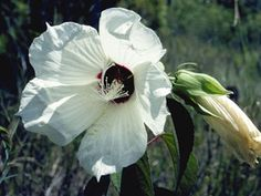 Hibiscus lasiocarpos (Woolly rose-mallow)