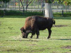 Winnipeg Zoo - Bison Bison, Photos, Animals, Pictures, Animais, Animales, Animaux, Photographs, Animal