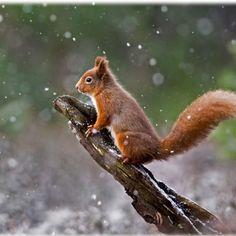 A red squirrel in Cairngorms National Park Scotland #RedSquirrel #CairngormsNationalPark #Scotland #HeathrowGatwickCars.com   heathrowgatwickcars.com via Instagram http://ift.tt/2k5BjBp