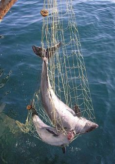 gill nets - Google Search