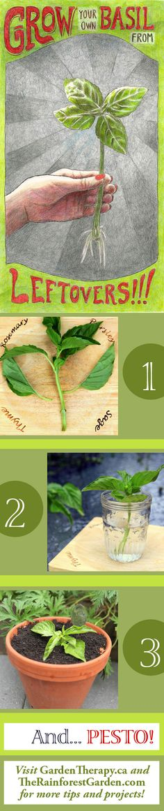 How to Grow Basil from Cuttings (via @Stephanie Close @ Garden Therapy and @rainforestgrdn) #gardening #herbs #basil