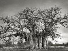 Bufflesdrift Baobab en 2013, l'un des quatre plus grands arbres d'Afrique du Sud.