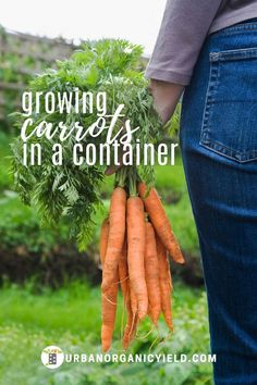 Growing Carrots In Containers I will show you how to grow carrots in a pot or container. This includes choosing the right pot size, planting them the right way, fertilizing, watering and harvesting. Growing Carrots, Growing Vegetables, Growing Plants, Gardening Vegetables, Indoor Gardening Supplies, Container Gardening, Gardening For Beginners, Gardening Tips, Container Vegetables