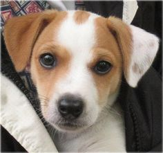 An Irish Jack Russell Terrier #Puppy..soo cute!  Always wanted a Jack Russell