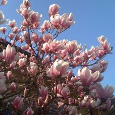 Magnolia tree, spring in #Todi #Umbria. Use to have one of these trees right next to my bedroom growing up.........miss it!!!