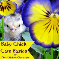 I read everything I could get my hands on before my first chicks arrived, only to learn ultimately that caring for baby chicks is not complicated. All chicks need to thrive is a caring chicken keeper with safe, warm housing, the proper food and clean water.