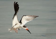 Skim Just a Little Off the Top, Please - Black Skimmer (Rhynchops niger) landing on the beach in St. Petersburg, FL | Show Me Nature Photography