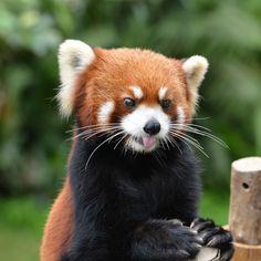 2. Red Panda by Zen Ding
