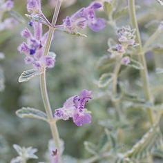 Catmint (<i>Nepeta x faassenii</i>) - Best Plants for Rain Gardens - Sunset