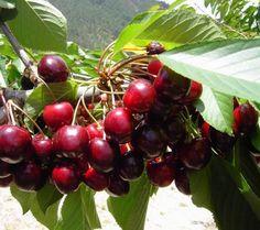 Como plantar uma cerejeira. Se deseja plantar uma árvore de cerejeira, aqui você tem os passos que deve seguir. As cerejeiras são árvores que fornecem deliciosas e doces frutas e que também são muito decorativas para qualquer ja...