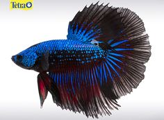 Half Moon Beta — Such a beautiful species due to their 180 colors and half moon shape when their fan like tailsare extended. They are known for their beautiful colors of red, blue, green and orange.  This is a very easy species for all hobbyist to take care of and love.