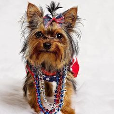 #Repost @hollybelleyorkie  Friends Family Food! Happy Fourth  Woof!  #usa #america #merica #godbless #party #4thofjuly  #happy4th #happyfourth #independenceday #patriotic #redwhiteblue #proud #americanstrong #yorkie #yorkiefamous #yorkiecute #puppy #yorkiepuppy #5months #dogsofinsta