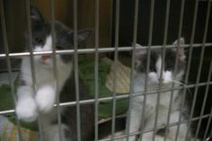 Long haired kittens is an adoptable Domestic Long Hair - Gray And White Cat in Oakland, MD. Two female gray & white long haired kittens. Their brother is also at the shelter. These cute little fuzz ba...