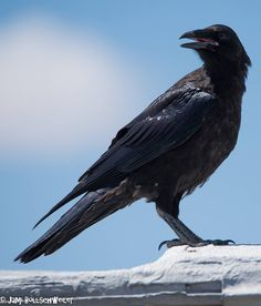 Crow in West Desert, Utah