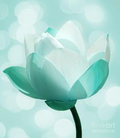 Mint Lotus by artist PhotoDream  Art ~ Prints  starting at $22
