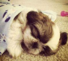 Sleepy! #shihtzu