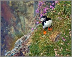 South Stack Cliffs Slideshow - South Stack Cliffs - South Stack Cliffs - The RSPB Community - Puffin