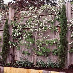 Espalier fruit trees are beautiful, productive, and require little space.