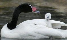 Yavru Kuğu ve Annesi