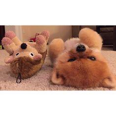 Funny Jiff the Pomeranian Dog imitating his Hedgehog Cuddly Toy