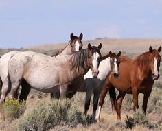 Wild Mustangs of Beatys Butte, OR herd. Beautiful horses and beautiful photos by John Wheland, dedicated to chronicling the lives of these historically important horses.