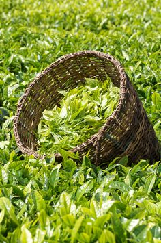 The tea leaves are collected in baskets called 'kitararu'. Not only does the design of these baskets make it easy for the growers to carry but it keeps the leaves fresh as it allows air to get to them.