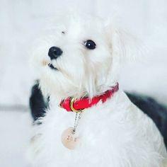 Zoe in our red signature collar. Stunning! Thank you @zoeandhugo  #leathercollar #leatherdogcollar  #dogharness #harness #sayanganjing #dogcollar #doglead #dogleash #dogtag #pettag #dogaccessories #bajuanjing #kalunganjing #jualanjing #talianjing #kalungkucing #jualkalunganjing #jualdogcollar #leathercraft #dogbandana #bandanaanjing #dogscarf #taganjing #roverpetcollars #pug #puglife #corgiindonesia #corgistagram #dogsofinstagram by roverhound