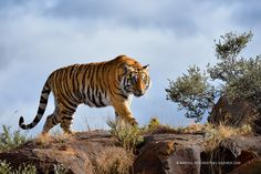 Photograph Sun Chaser, Tiger, South Africa - by Marsel van Oosten on Photography Tours, Wildlife Photography, Animal Photography, Action Photography, Big Cat Species, Safari, Tiger Love, Out Of Africa, Leopards