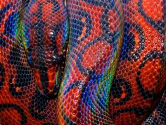 Epicrates cenchria is a boa species endemic to Central and South America. Common names include the rainbow boa, and slender boa. A terrestrial species, it is known for its attractive iridescent sheen caused by structural coloration. Reptiles And Amphibians, Mammals, Reptiles Facts, Colorful Animals, Cute Animals, Beautiful Creatures, Animals Beautiful, Art Furniture, Brazilian Rainbow Boa