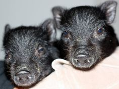 Our two mini pig rescues.They were literally the size of a soda can.