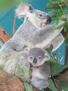 Amazing wildlife - Koala and baby baby #koalas