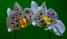 Herthal art's: orquídea branca pintada de e.v.a, Herthal art's