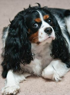 old cavalier king charles spaniel. Cavalier King Charles, Cavalier King Spaniel, King Charles Puppy, King Charles Spaniel, Puppies And Kitties, Doggies, Game Mode, Dog Best Friend, Spaniel Puppies