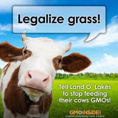 Cows should be eating grass- not GMO grains! GMO corn, soy, cotton and alfafa make up the factory-farmed dairy cow diet. Tell Dean Foods and Land O'Lakes you don't want to be a lab rat: http://gmoinside.org/take-action/tell-dean-foods-use-non-gmo-feed-cows