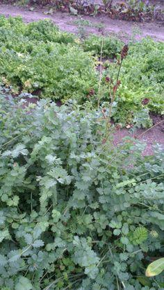 Pimprenelle, Sanguisorba officinalis, ROSACEES, Septembre 2013, hémostatique, cicatrisante, astringent 2013, Gardens, Hobbies, Natural Garden, Ceiling Rose, September, Plants