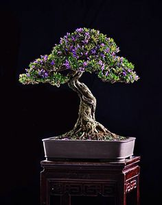 Growing bonsai from their seeds is essentially growing a tree from its seed. Get tips and guidelines on how to grow your first bonsai from its seed phase. Japanese Bonsai Tree, Mini Bonsai, Indoor Bonsai, Bonsai Plants, Bonsai Garden, Bonsai Trees, Ikebana, Bonsai Meaning, Growing Raspberries