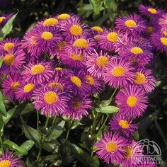 Also known as Fall Asters, these are terrific favorites for autumn colour in the perennial border. Plants form bushy mounds, bearing loads of small daisy flowers. Perennial Border, Planting Flowers, Autumn Garden, Plants, Green Landscape, Foliage Plants, Daisy Flower, Trees To Plant, Colorful Garden