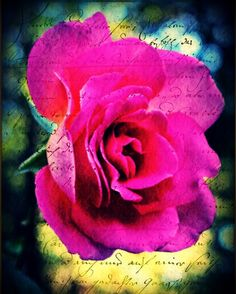 Beautiful Rose Fine art Photography Print.