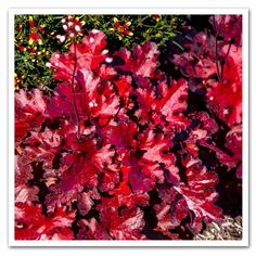 Heuchera Forever Red, Coral Bell